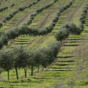 Aceites de Oliva Verdes Exclusivos.