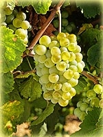 Verdejo raisin