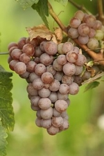 Gewürztraminer grape