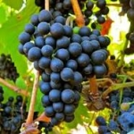 Petit Verdot grape