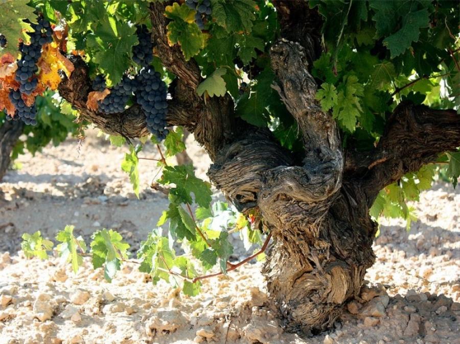 Ribera del Duero Wein aus der Bodega De Bardos